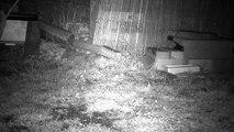 4 - Le printemps, les hérissons circulent dans le jardin ...