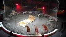 Incredible Amazing Tiger act at Circus