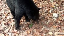 A Bluff Charge by a Black Bear - NOT A BLACK BEAR ATTACK