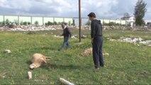 Elektrik Akımına Kapılan 2 Koyun Telef Oldu