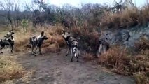 Animal Attack to Attack Hyena vs Wild Dogs Top ten10@attack to attack