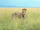 Deadliest Lion Fighting For Food | Lion vs Lion | Lion Fighting Video