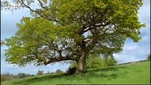 Oak tree and wasp eggs - Life in the Undergrowth - BBC Attenborough