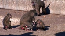 Mother Baboon Protecting Baby (Papio hamadryas)