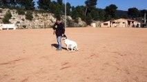 dressage canin la ciotat 13 éducation canine la ciotat toutoucool13 Pablo travail sans laisse