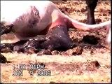 Cow Having Calf