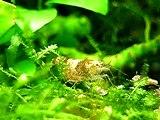 Caridina sp. 'Bumble Bee' Carrying eggs