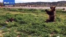 Cet ours s'amuse à embêter un chien à l'aide d'un tuyau d'arrosage !