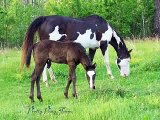 APHA Overo Horses For Sale