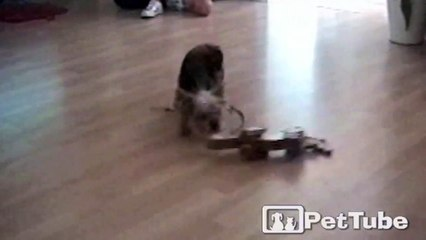 Pup Takes Her Toy for a Spin