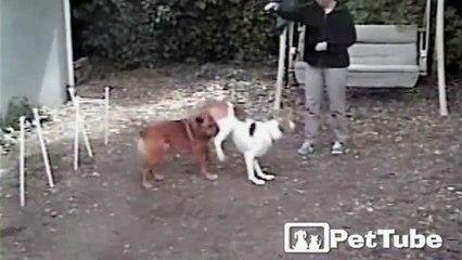 Dog Leaps Dog