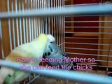 New born baby Budgies (budgerigar) chicks 1 day to 5 weeks with titles fibroz