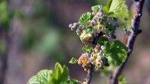 Bourdons pollinisateurs de fleurs de cassis à Merceuil (Côte-d'Or)