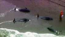 Près de 150 dauphins s'échouent sur une plage au Japon