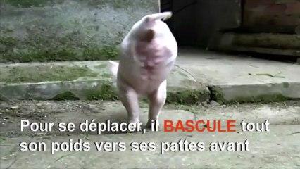 Un petit cochon est né sans ses deux pattes arrière