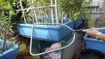 Affnan's Aquaponics - Tilapia Harvest of the Year 31st Dec 2010
