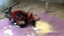 LiveLeak - The cock brings up his chicks