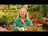 Growing Geraniums : Problems with Geraniums