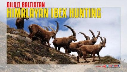 Himalayan Ibex Hunting in Gilgit Baltistan