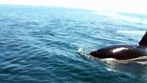 Killer Whales attacking a Fin Whale in La Paz Bay on the Sea of Cortez