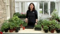 Guide To Transplanting Young Tomato Plants