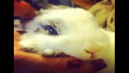 Cute Netherland Dwarf Bunny | Hellosharla
