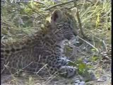 Leopard Cub Amusing Itself