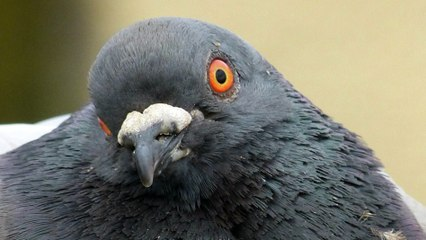 ALERTE : encore un connard qui court après des pigeons