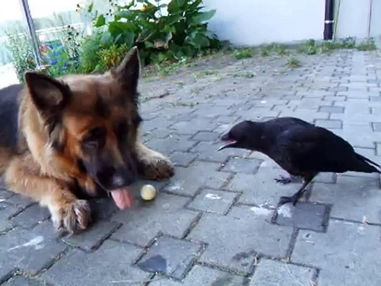 Funny Crow and Dog Play Ball ! Ворона и Собака Играют в Мяч !