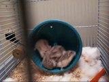 Baby Russian Dwarf Hamsters Running on Wheel
