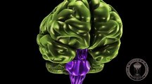 Anatomy of the brain : Diencephalon,  Thalamus and Hypothalamus .