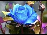 The Rose - Gheorghe Zamfir