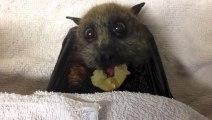 Cette chauve-souris qui mange du raisin ressemble à un personnage de cartoon... Trop mignon!