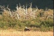 RECORD  BULL MOOSE Encounters GRIZZLY, alaska trophy moose brown bears, versus, vs