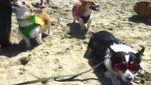 600 Corgis frolic at Corgi Beach Day