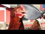 Killing chickens: 920 birds beaten to death with golf club at Foster Farms in Caruthers, California
