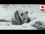 Panda playing in snow: clip of Toronto Zoo panda will melt your cold, icy heart