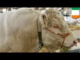 Gay animals? Breeding bull spends more time chasing males tails than just tail