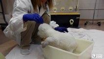 Toronto Zoo Polar Bear Cub Takes First Bath