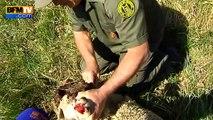 Attaque d'un loup solitaire dans les Alpes-Maritimes: 21 brebis tuées, une enquête ouverte