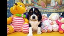 Chiots Beagle pur Race de maman Jenny & papa Micky Mouse nés le 5 mars 2015 HD