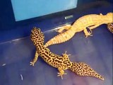 My Leopard Geckos and Fat tail Gecko