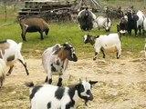Chèvres miniatures des Tourelles - Jeux de nos chevreaux qui découvrent la liberté !