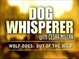 DOG WHISPERER Cesar Millan on WOLF-DOG Hybrids (Oct. 2010)