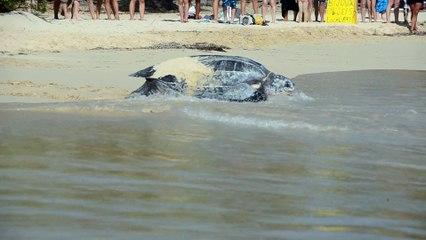 """""""Luth"""" la tortue : la ponte terminée, retour à la mer"""