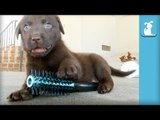 Adorable Chocolate Lab Puppies Brush Your Hair! - Puppy Love