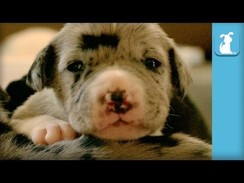 Baby Great Dane Puppies Sleeping Is So Great - Puppy Love