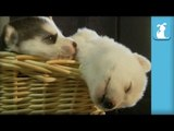 Cornucopia of Sleeping Husky Puppies - Puppy Love