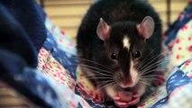 Einstein & Darwin | Adorable Pet Rats! ♥