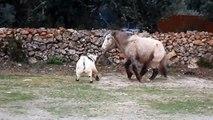 Poney joue avec une chèvre !